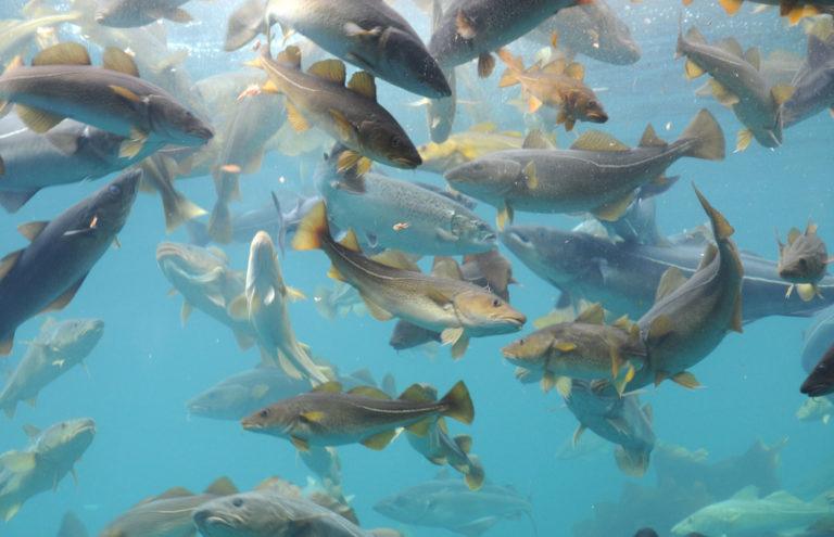 undervannsbilder av torsker